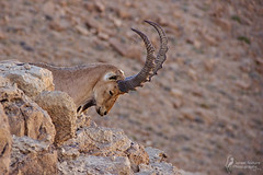 play it like yoda [explored] (Israel Nature Photography by Ary) Tags: nature animals canon israel desert wildlife ibex 600d apsc