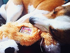 My bestfriend's, bestfriend. (rhskeete) Tags: cuddles sweet cute toys tox teddy dogs pet living life bestfriend puppy pup dog