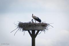 Storch / Stork (s.knellesen) Tags: nest young stork lair storch niederrhein nachwuchs lowerrhine knellesen
