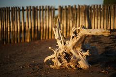 Golden driftwood (Helena Normark) Tags: norway norge driftwood trondheim srtrndelag a7 voigtlnder goldenlight oldpier trondheimsfjorden ranheim nokton5015 cv5015 nokton50mmf15 sonyalpha7 decayingpier