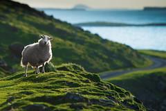 Erin the Sheep (cylynex) Tags: sunset mountains animal silhouette island scotland sheep wildlife scenic scottish hills isleofmull mull goldenhour