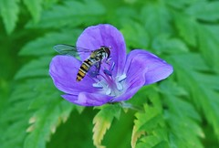 Hoverfly into the Blue (Hugo von Schreck) Tags: blue flower macro insect fly blume makro insekt hoverfly fliege schwebfliege onlythebestofnature tamron28300mmf3563divcpzda010 canoneos5dsr