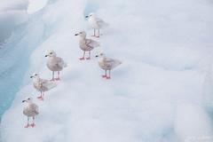 _LL-1306 (lars.lehnert) Tags: island tiere vgel mwe jokulsarlon antarktis eiskristalle lnderundregionen neumayerstationii