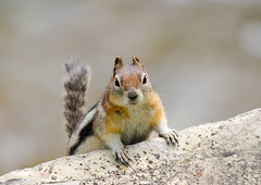 Golden-mantled Ground Squirrel (Jason The Owl) Tags: groundsquirrel goldenmantledgroundsquirrel sigma150500mm watertonalberta nikond7000