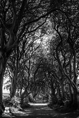 D.H. (SYNAPSTIC photography) Tags: nikon d750 fx ireland antrim darkhedges trees