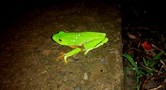 . (jacoble1996) Tags: road green home nature costarica frog rana nigth redeyes