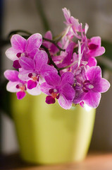 At The Florist's (TablinumCarlson) Tags: leica pink flower yellow shop munich mnchen bayern bavaria dof availablelight pflanze m lila summicron gelb orchidaceae m8 florist orchidee 90mm blte geschft highiso florists schwabing blumenladen tracheophyta