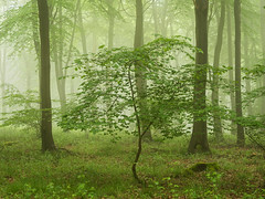 A New Hope (Summer Edition) (Damian_Ward) Tags: wood morning trees mist misty fog forest woodland photography chilterns buckinghamshire foggy bucks beech wendover astonhill thechilterns chilternhills wendoverwoods damianward damianward