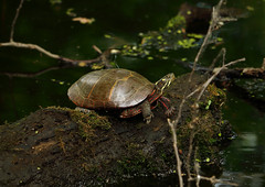 painted turtle (Millie Cruz) Tags: paintedturtle turtle painted red yellow log water nature amateurphotography beautiful vegetation colorful colors canon t6i rebelt6i harrisburg wildwoodpark pa efs55250mmf456isstm shell