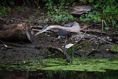 DSC_0061 (rlnv) Tags: bird heron animal newjersey princeton greatblueheron delawareandraritancanalstatepark 300mmf45ai nikond40x newjerseystateparks