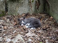 Chaton haret (cani7575) Tags: cat kitten chat chaton 45mmf28