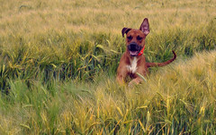 Toben im Feld - ein Hund, kein Hase :) (borntobewild1946) Tags: dog dogs feld hund boxer nrw rhodesianridgeback lffel nordrheinwestfalen rheinland hunde toben mischling spielen kornfeld hundekopf rde jagen hren tollen rheinkreisneuss hundeportrait austoben hundehalsband mischlingshund hundezunge hundeschwanz keinhase hundemaul hundeohren copyrightbyberndloosborntobewild1946 hundebrust hundevorderlufe