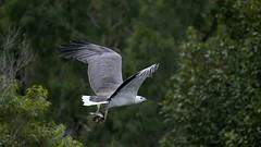 _4SJ8404-r5 (4mpx) Tags: sydney seaeagle australianbird brokenbay nikond4s tamron150600mm