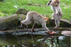 Two monkeys playing at the waterhole on a hot summer day (2) (okrakaro) Tags: nature animal juni germany zoo jumping natur waterdrops wassertropfen spielen rheine 2016 barbarymacaques berberaffen heisersommertag amwasserloch twomonkeysplayingatthewaterholeonahotsummerday2 zweiaffen