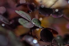 oxalix 6 (Gus@lc) Tags: naturaleza minolta olympus macrofotografia raynox microcuatrotercios