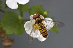 Streepjes (Dimormar!) Tags: macro garden insect tuin canon60mmmacrolens zweefvlieg