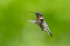 Ruby-throated Hummingbird (Joe Branco) Tags: ontario canada green nature branco hummingbird wildlife joe songbirds rubythroatedhummingbird 3200iso nikond500 joebrancophotography lightroomcc2015 photoshopcc2015