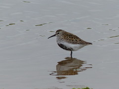 Dunlin  P1250752 (ianpreston) Tags: birds northumberland dunlin 2016 beadnellbay