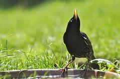 _DSC2300 A starling gargling (petefreeman75) Tags: bird garden lawn starling
