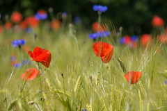 Happy Midsummer! (Infomastern) Tags: flower field wheat poppy blomma cornflower geolocation vallmo flt beddingestrand blklint geocity camera:make=canon exif:make=canon geocountry geostate exif:lens=efs18200mmf3556is exif:focallength=170mm exif:aperture=71 exif:isospeed=100 camera:model=canoneos760d exif:model=canoneos760d