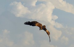 Himalayan raptor - a black kite diving (PsJeremy) Tags: birds raptor blackkite himalayan