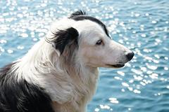 Ferry Dog Nak (Tom Willett) Tags: skye ferry scotland highlands isleofskye glenelg sleet kylerhea carferry soundofsleet turntableferry originalskyeferry