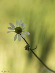 Leucanthemum (Oly User) Tags: pflanze olympus makro blte margeriten billerbeck 60mmf28macro juni2016 omdem5markii thomasmeinersmann