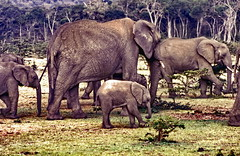 Safari Masai Mara, movin' on (gerard eder) Tags: world africa travel elephant animals kenya outdoor wildlife viajes elefant kenia reise masaimara eastafrica ostafrika safai easternafrica