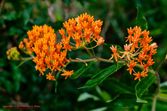 Butterfly Weed (mikerhicks) Tags: usa nature geotagged outdoors photography spring unitedstates hiking tennessee wildflowers hermitage flowersplants butterflyweed tennesseestateparks geo:country=unitedstates couchville camera:make=canon exif:make=canon geo:state=tennessee exif:aperture=40 geo:city=hermitage exif:focallength=35mm exif:lens=1835mm exif:isospeed=200 couchvillecedargladesna canoneos7dmkii camera:model=canoneos7dmarkii exif:model=canoneos7dmarkii geo:lon=8653013500 sigma1835f18dchsma geo:location=couchville geo:lat=3610154000 geo:lat=3610154 geo:lon=86530135 tylersykestrail