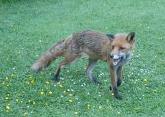 Garden visitor (farwest56) Tags: olympus sz31mr cornwall garden fox stives