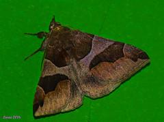 Una visita inesperada.. (loriagaon) Tags: espaa naturaleza macro nature animals butterfly galicia animales mariposa pontevedra loria loriagaon rx10lll sonyrx10lll sonydscrx10iii