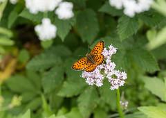 Hopeatplperhonen (Juha-Matti Markkanen) Tags: macro butterfly bug sigma105mm