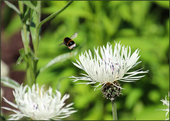 And He's Off! (Mabacam) Tags: flowers plants london nature gardens garden insect outdoors thistle bee bumblebee 2016 richmonduponthameskewkew