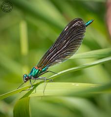 Beautiful demoiselle (Calopteryx virgo) (Richard Leah Photography) Tags: macro nature closeup wildlife insects damselfly damselflies beautifuldemoiselle sigma105mm nikond800