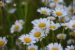 Field Flowers (Linda Ramsey) Tags: summer flower daisies daisy blooms blooming