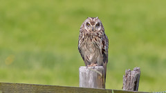 5D3_2678_1280! (kiekjesdief.nl/vogels) Tags: velduil