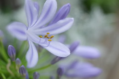 20160616-R0043440 (nut_cookie) Tags: flowers closeup agapanthus macrophotography