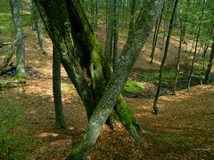 Izvoarele Nerei old-growth forest, Semenic Mountains National Park, Romania (Carpathianland) Tags: wild forest virgin romania wilderness forests virgina virgine undisturbed parcul prehistorical primeval padure salbatic muntii paduri salbatica salbaticie semenicului