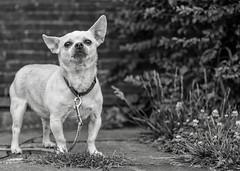 Culpeper yard-guard (hwicker) Tags: chihuahua perro guarddog