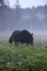 IMG_6413 (2) (karlsson_mari) Tags: horse fog dimma hst nordsvensk