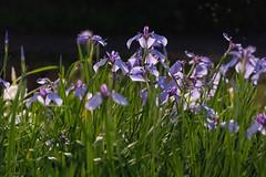 54Yamada Pond Park (anglo10) Tags: flower japan nightscape