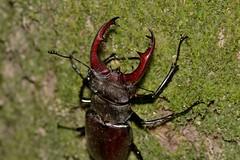 Lucanus (Lucanus) cervus (Linnaeus, 1758) (Jess Tizn Taracido) Tags: coleoptera polyphaga scarabaeiformia scarabaeoidea lucanidae lucanuscervus