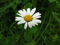 IMG_7655 (germancute) Tags: flower nature outdoor blume wildflower blte