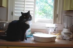 I'll keep an eye on the water bowl. (2 of 4) (rootcrop54) Tags: male water fountain cat furry chat counter longhair bowl tuxedo kitteh batman  macska gatto katzen kot koka kedi katt kissa kttur maka kucing waterbowl    kat  maek kais pisic gorbe