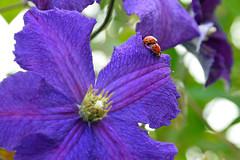 L'appel de la nature (Croc'odile67) Tags: flowers nature fleurs nikon contemporary sigma coccinelle d3300 18200dcoshsmc