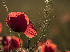 (:) vicky) Tags: flores valencia contraluz olympus trigo barracas amapolas visionario olympusdigitalcamera horadorada vickyepla flickrvicky