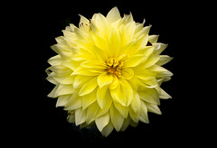 Yellow Giant Dahlia (s.d.sea) Tags: dahlia flowers summer chicago flower floral yellow gardens garden giant botanical petals illinois midwest pentax northshore bloom glencoe botanic artisitc enjoyillinois
