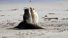 Australia Sea Lion (sqrootof5) Tags: wild beach nature animal mammal sand wildlife sony adelaide sealion southaustralia kangarooisland hx300
