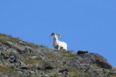 Dall sheep / Sheep Mountain (JeffChabot) Tags: dall sheep