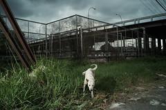 * (Sakulchai Sikitikul) Tags: street dog pee thailand sony flash voigtlander 28mm streetphotography snap songkhla hatyai a7s